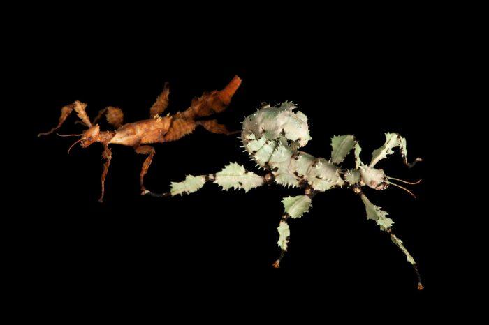 Australian walking sticks (Extatosoma tiaratum) in two colors at the National Aquarium, Baltimore.