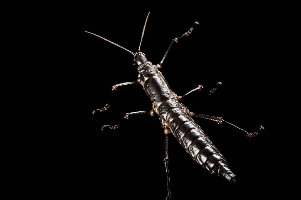A critically endangered Lord Howe Island stick insect (Dryococelus australis) at the Melbourne Zoo.