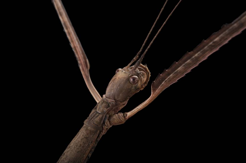 Giant stick insect (Phobaeticus serratipes) at the Omaha Henry Doorly Zoo.