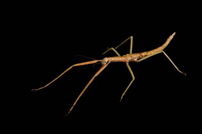 Wulfing's stick insect (Acrophylla wuelfingi) at the Wild Life Sydney Zoo.""