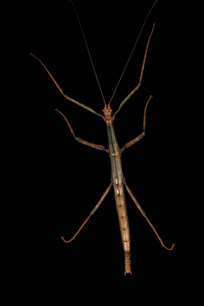 Picture of a Texas giant walking stick (Megaphasma dentricus) at the Dallas Zoo.