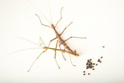 Texas giant walking sticks (Megaphasma dentricus) mating with eggs behind, at the Dallas Zoo.