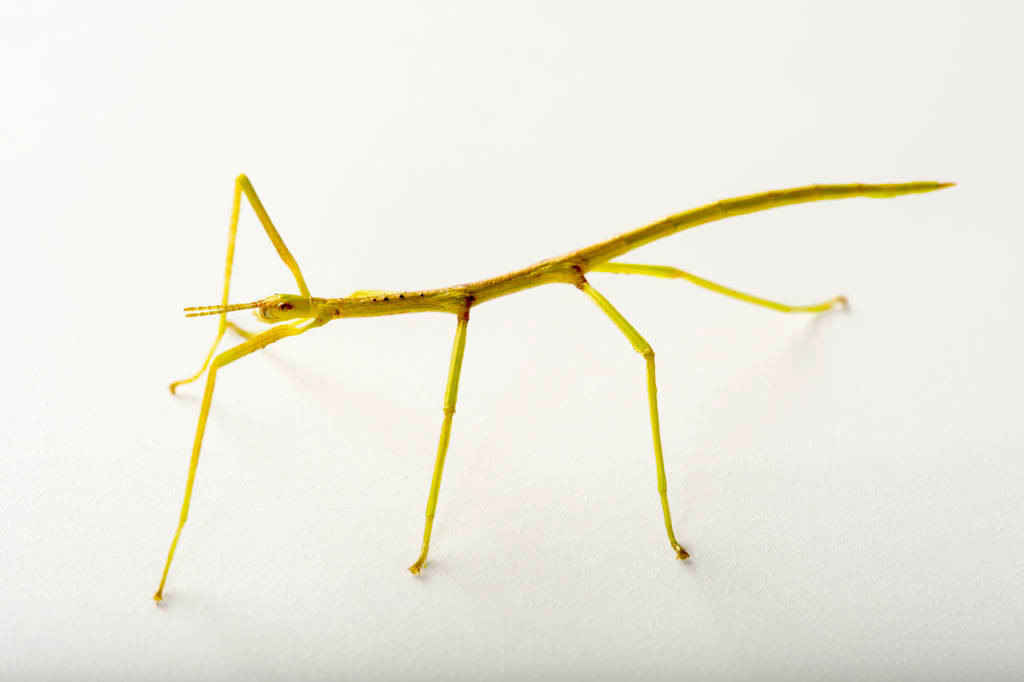 Picture of a smooth stick insect (Clitarchus hookeri) at the Auckland Zoo.