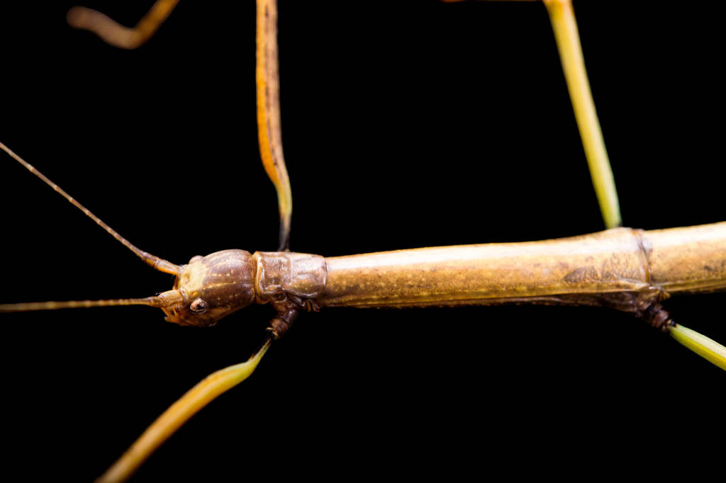 Picture of a northern walkingstick (Diapheromera femorata) at the St. Louis Zoo.