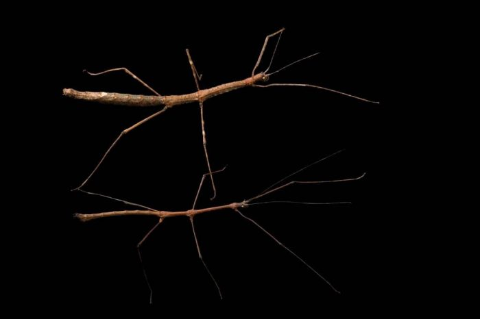 Photo: A male and female walking stick (Mithrenes panayensis) from the Plzen Zoo in the Czech Republic.