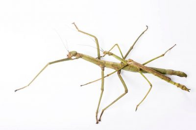 Photo: A male and female heavy stick insect (Pharnacia ponderosa) from the Plzen Zoo in the Czech Republic.