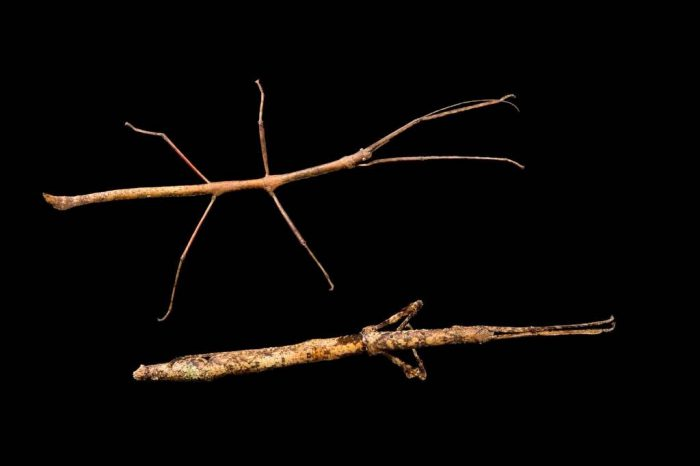 Photo: A male and female walking stick (Mnesilochus mindanaense) from the Plzen Zoo in the Czech Republic.