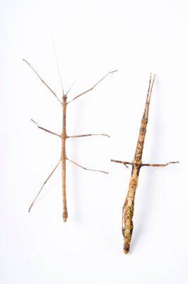 Photo: A male and female walking stick (Mnesilochus mindanaense) from the Plzen Zoo in the Czech Republic.
