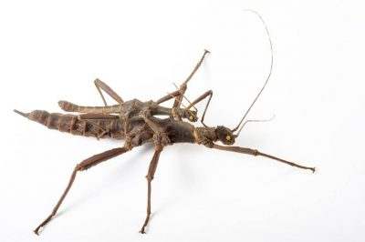 Photo: Giant thorn crickets (Trachyaretaon carmelae) from the Plzen Zoo in the Czech Republic.