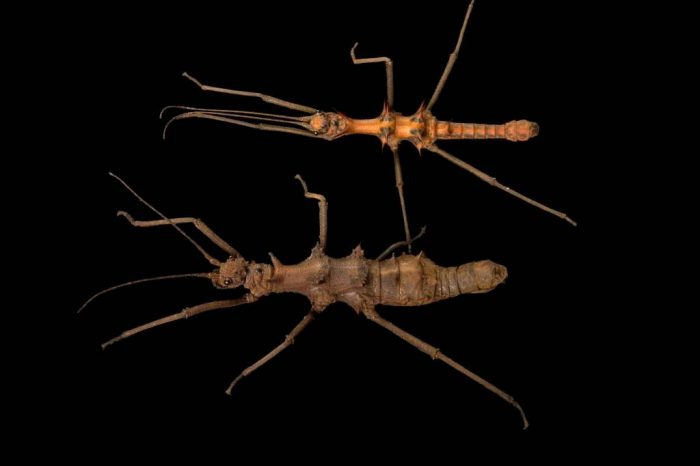 Photo: Borneo stick insects (Epidares nolimetangere) from the Plzen Zoo in the Czech Republic.