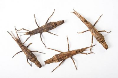 Picture of walking sticks (Pylaemenes guanxiensis) from the Plzen Zoo in the Czech Republic.