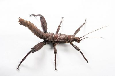 Thorny devil stick insects (Eurycantha calcarata) from the Plzen Zoo in the Czech Republic.