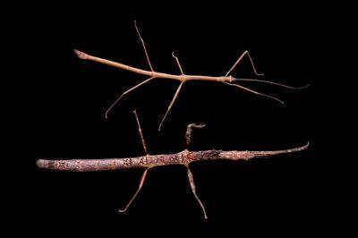 Photo: Two walking sticks (Mnesilochus Sp.) from the Plzen Zoo in the Czech Republic.