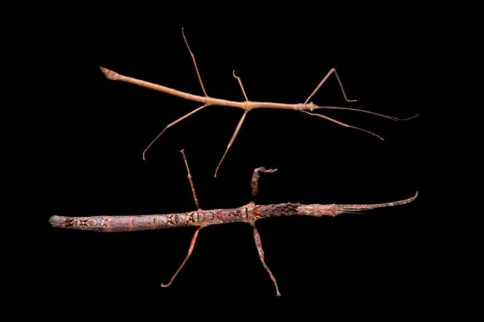 Photo: Two walking sticks (Mnesilochus Sp.) from the Plzen Zoo in the Czech Republic.
