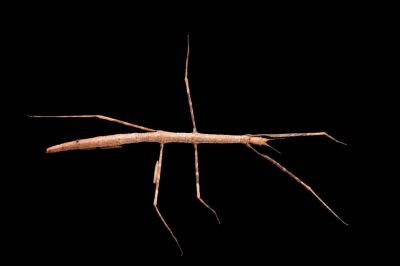Photo: Andaman Island stick insect (Sceptrophasma hispidula) from the Plzen Zoo in the Czech Republic.