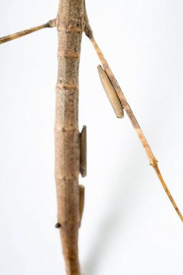 Photo: The eggs of the Andaman Island stick insect (Sceptrophasma hispidula) on the leg of the same species from the Plzen Zoo in the Czech Republic.