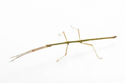 Photo: A male colorful Samar walking stick (Lonchodiodes samarensis) from the Plzen Zoo in the Czech Republic.