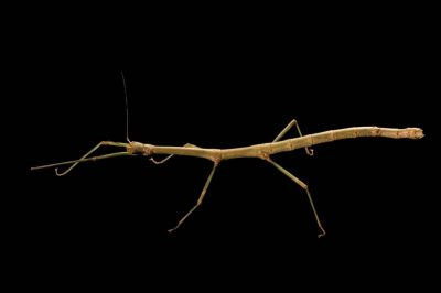 Photo: A female colorful Samar walking stick (Lonchodiodes samarensis) from the Plzen Zoo in the Czech Republic.