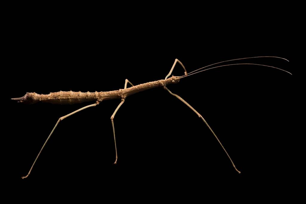 Photo: A walking stick (Manduria systropedon) from the Plzen Zoo in the Czech Republic.