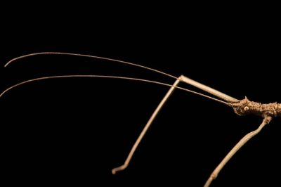Photo: A walking stick (Manduria systropedon) from the Plzen Zoo in the Czech Republic.