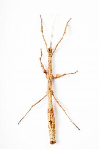 Photo: A walking stick (Phenacephorus latifemur) from the Plzen Zoo in the Czech Republic.