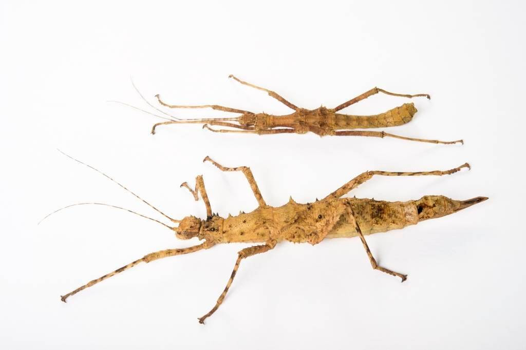 Photo: A male and female walking stick (Brasidas foveolatus) from the Plzen Zoo in the Czech Republic.
