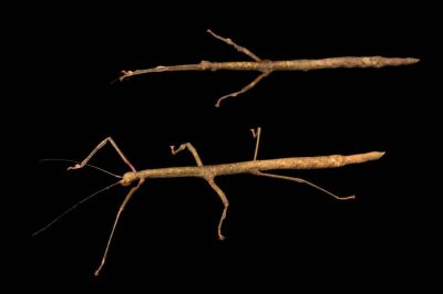 Photo: Gray's Malayan sticks (Lonchodes brevipes) at the Houston Zoo.