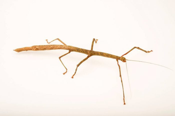 Photo: Gray's Malayan stick (Lonchodes brevipes) at the Houston Zoo.
