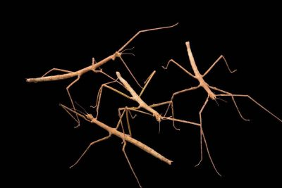 Photo: Stick insects, Bacillus atticus, at Parco Natura Viva in Bussolengo, Italy.
