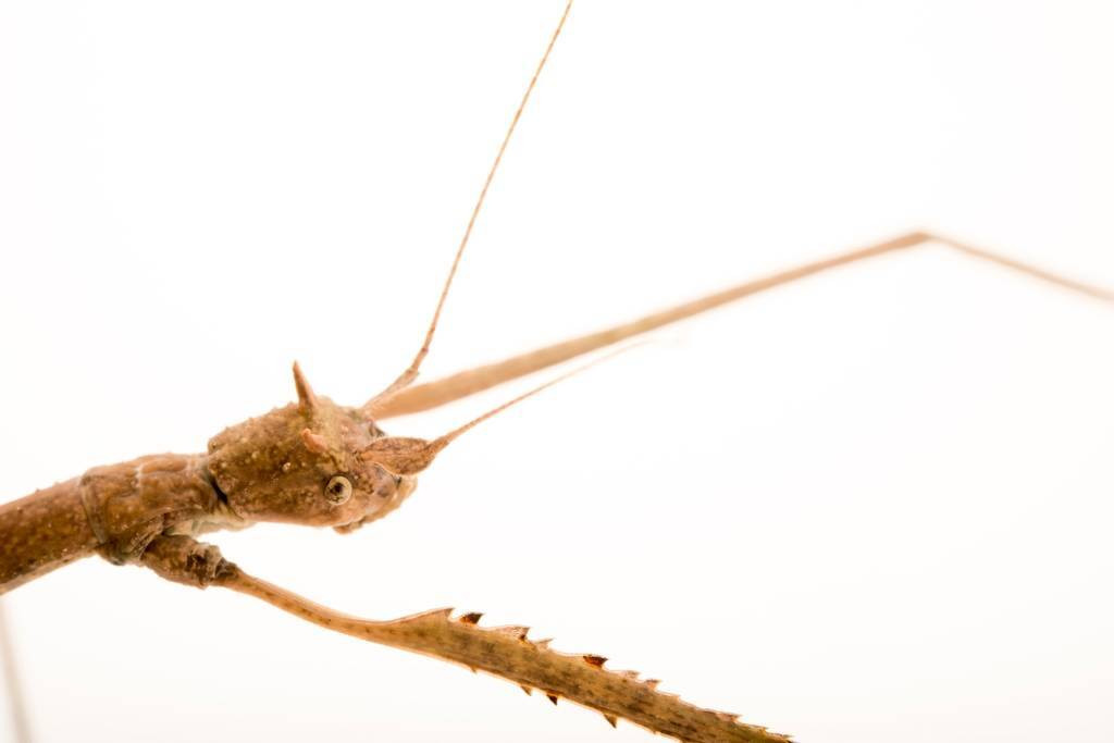 Photo: A stick insect (Bacillus atticus) at Parco Natura Viva in Bussolengo, Italy.