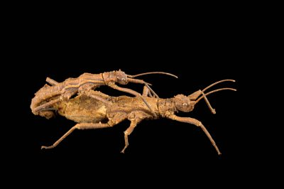 Photo: A male and a female walking stick (Dares philippinensis) at the Budapest Zoo.