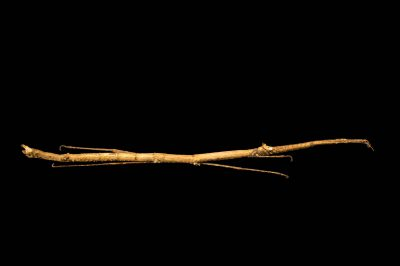 Photo: Walking stick (Carausius detractus) at the Budapest Zoo.