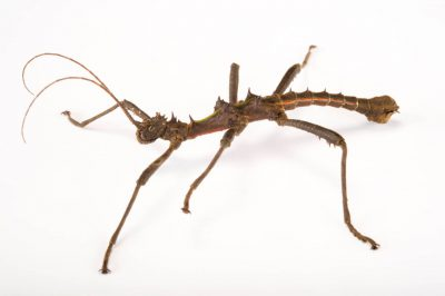 "Photo: Walking stick (Aretaon sp. ""Palawan"") at the Budapest Zoo."