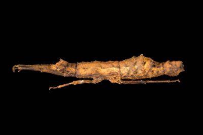 Photo: Walking stick (Pylamenes guangxiensis) at the Budapest Zoo.