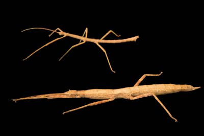 Photo: Walking sticks (Agamemnon cornutus) at the Budapest Zoo.