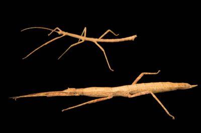 Photo: Walking sticks (Agamemnon cornutus) at the Budapest Zoo.