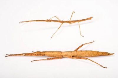 Photo: Walking stick (Agamemnon cornutus) at the Budapest Zoo.