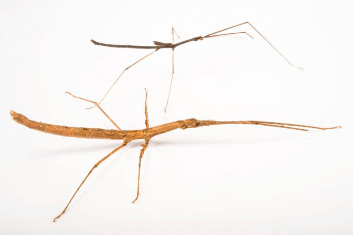 Photo: Walking stick (Lobofemora scheirei) at the Budapest Zoo.