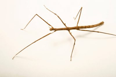 Photo: Walking stick (Medauroidea extradentata) at the Budapest Zoo.