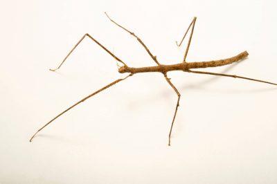 Photo: Walking stick (Medauroidea extradentata) at the Budapest Zoo.