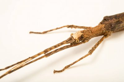 Photo: Walking stick (Creoxylus spinosus) at the Budapest Zoo.