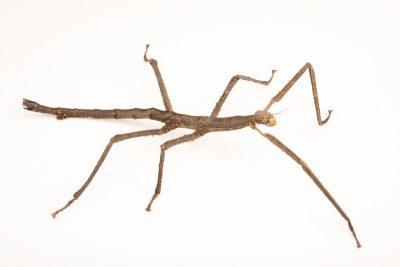 Photo: Malayan giant stick insect (Pharnacia cantori) at Zoo Negara.