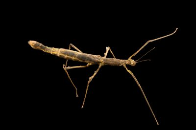 Photo: Walking stick (Onchestus rentzi) at the Budapest Zoo.