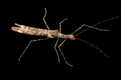 Photo: Walking stick (Trachythorax maculicollis) at the Budapest Zoo.