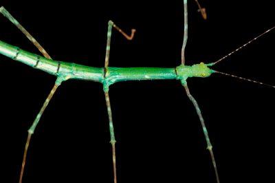 "Photo: Walking stick (Myronides sp. ""PelengÓ) at the Budapest Zoo."