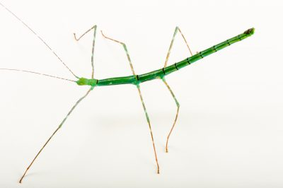 "Photo: Walking stick (Myronides sp. ""PelengÓ) at the Budapest Zoo."
