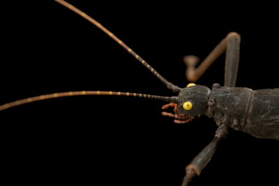 Photo: Stick insect (Peruphasma schultei) at the Budapest Zoo.