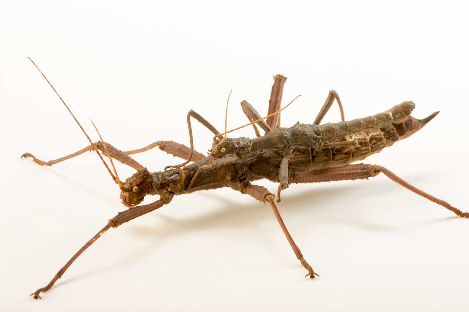 Photo: Giant thorn cricket ( Trachyaretaon carmelae ) at the Budapest Zoo.