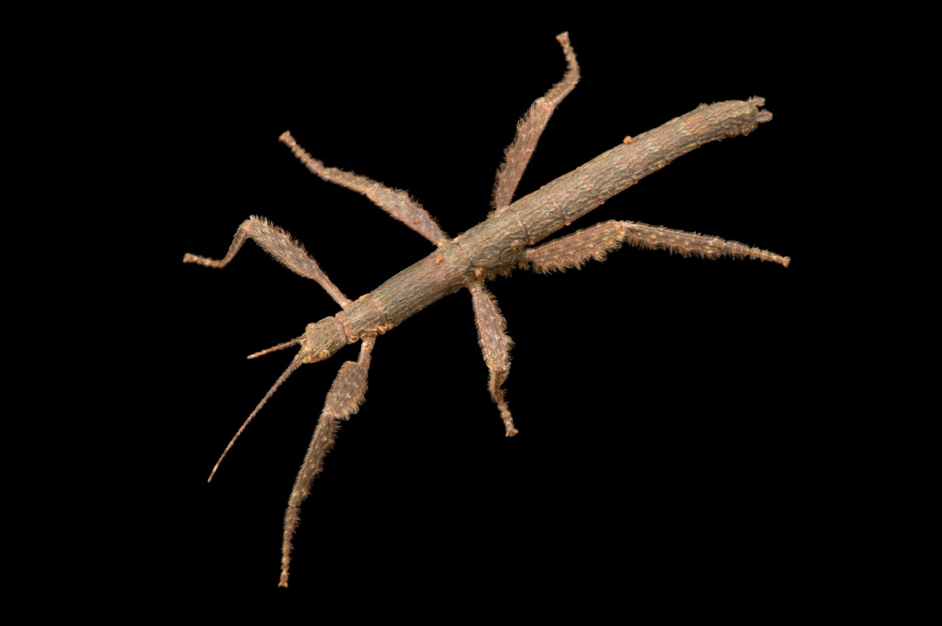 "Stick insect (Xenophasmina sp. ""Tam Dao"") at the Budapest Zoo. This is new to science."