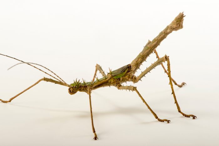 Photo: Stick insect (Haaniella erringtoniae) at the Budapest Zoo.